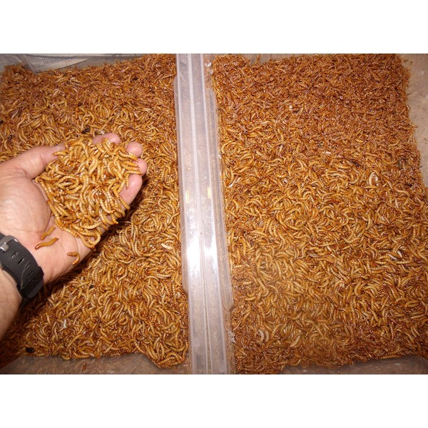 1100 Count Live Mealworms Organically Grown By Bassett's Cricket Ranch